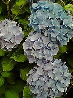 紫陽花色々…