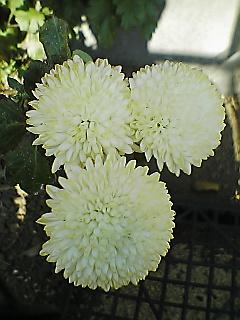 いろいろな『菊』