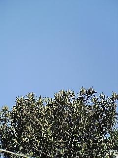 びわの木と冬空